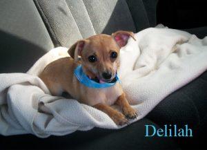 Delilah Sunshine | Chihuahua | Image 2