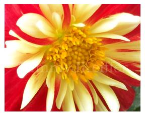 Dahlia Image 3