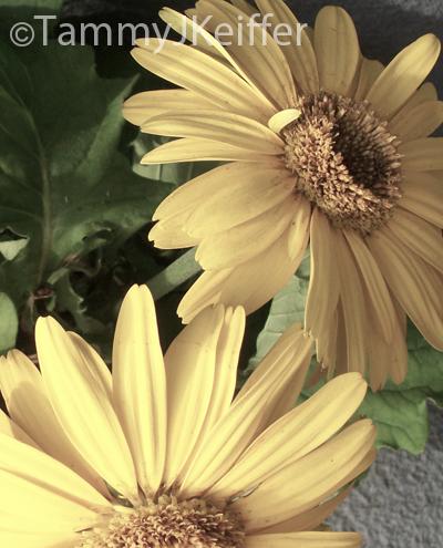 Yellow Gerbera Daisy | Image 1