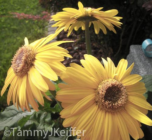 Yellow Gerbera Daisy | Image 2