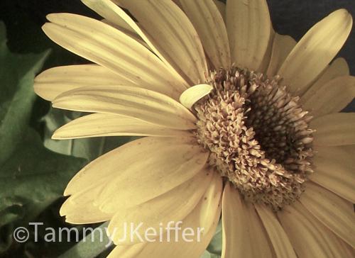 Yellow Gerbera Daisy | Image 3
