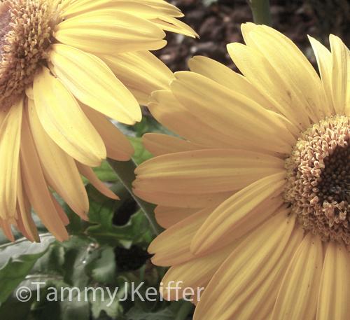 Yellow Gerbera Daisy | Image 4