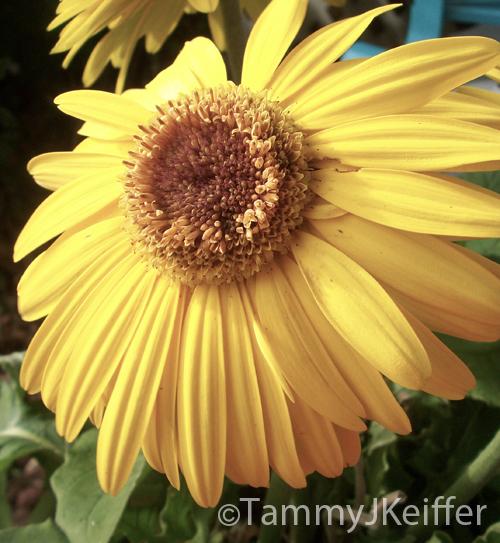 Yellow Gerbera Daisy | Image 5